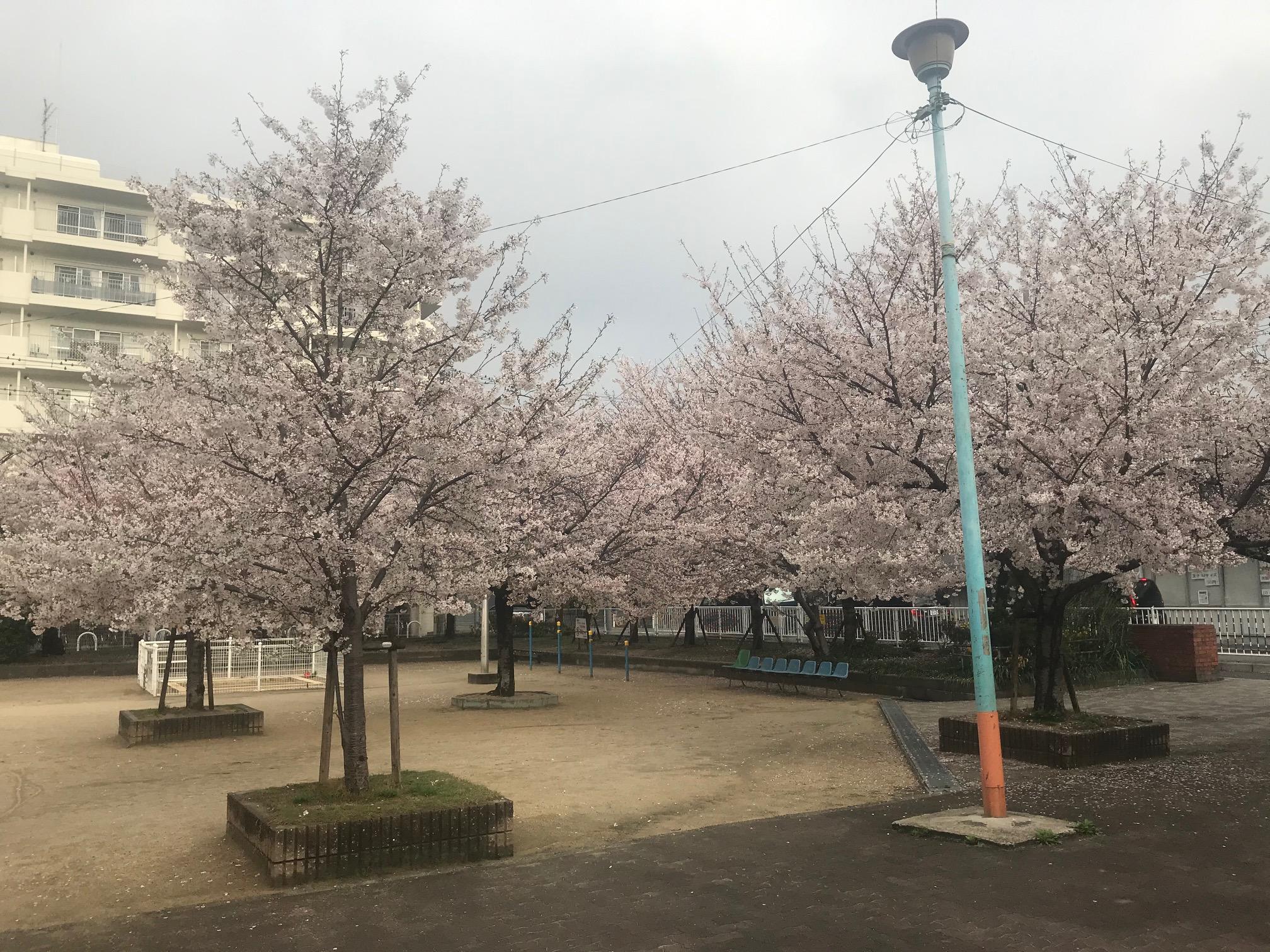 210329 桜満開